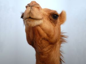 camel-face