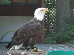 Bird sanctuary-Bald Eagle3