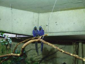 Blueparrots2