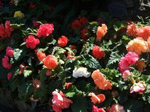 Buchart Gardens10