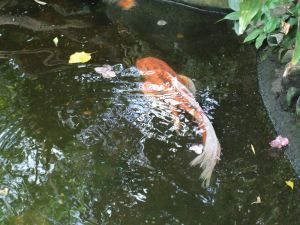 Butterfly gardens-Koi fish
