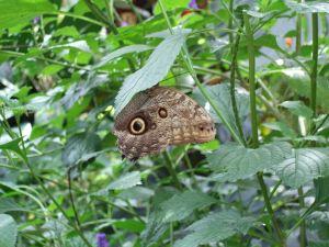 Butterfly gardens-Owl butterfly
