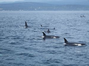 Whale watching-Victoria-Whales together