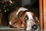 sad-sad-basset-hound